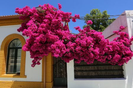 andalucian flowers overhang a house