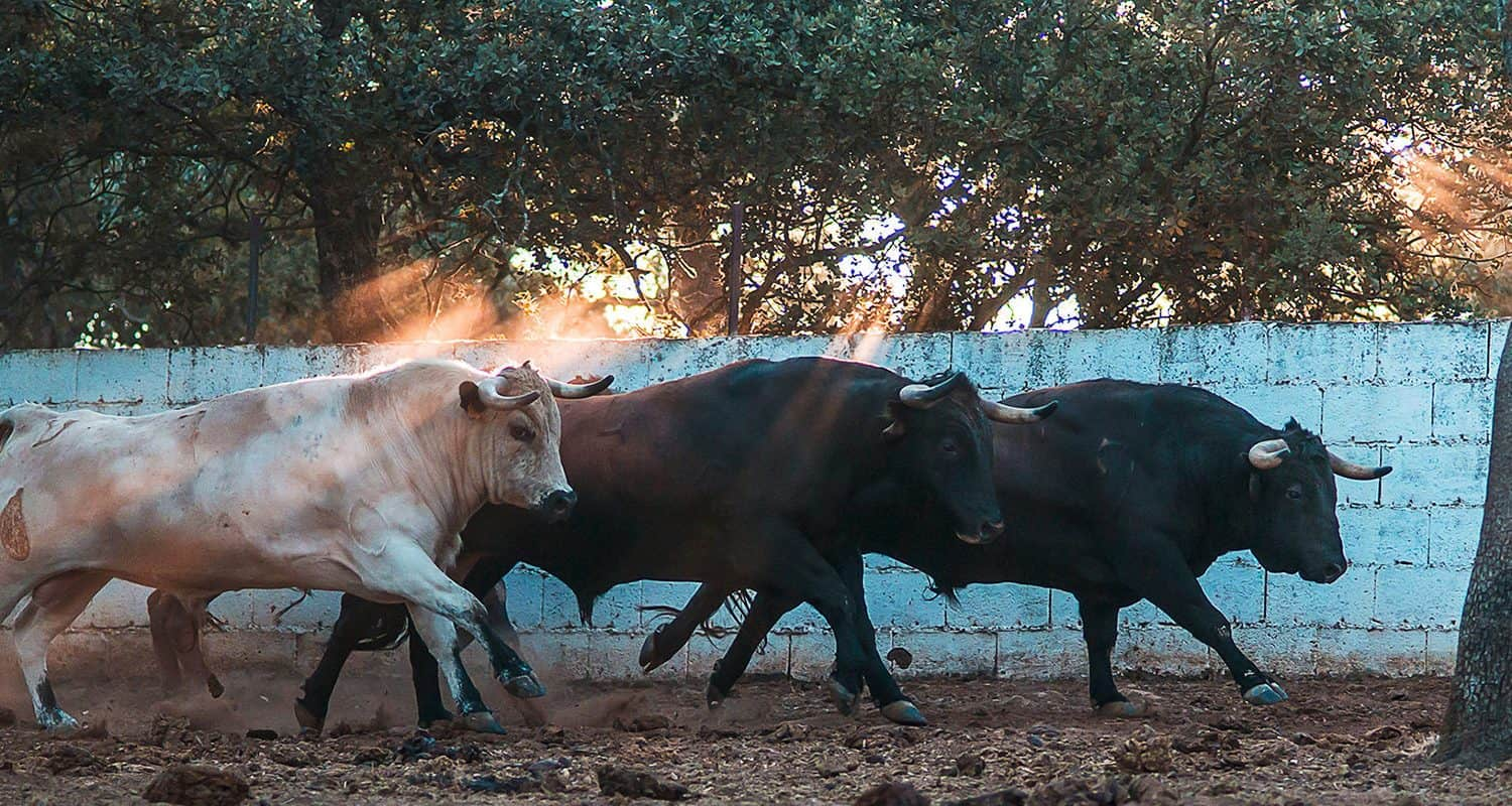bulls running in bull farm spain